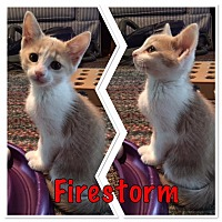 Adopt A Pet :: Firestorm - McDonough, GA
