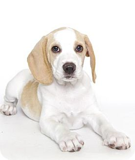 Beagle Mix Puppy for adoption in Gloucester, Virginia - FINCHLEY