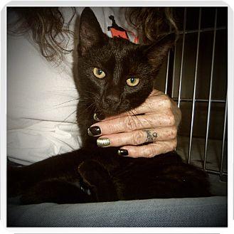 Bombay Cat for adoption in Medford, Wisconsin - BENNETT
