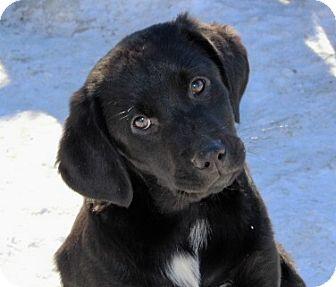 Labrador Retriever Mix Puppy for adoption in Liberty Center, Ohio - Anders