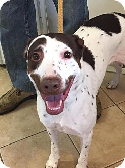 Springer Spaniel Mix Dog for adoption in Middletown, New York - Smudges