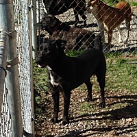 Labrador Retriever/Terrier (Unknown Type, Medium) Mix Dog for adoption in Albemarle, North Carolina - Snickers