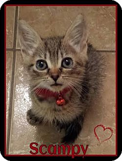 Domestic Mediumhair Cat for adoption in Orlando, Florida - Scampy