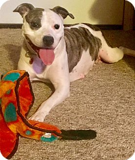 American Pit Bull Terrier Mix Dog for adoption in Elyria, Ohio - Delilah