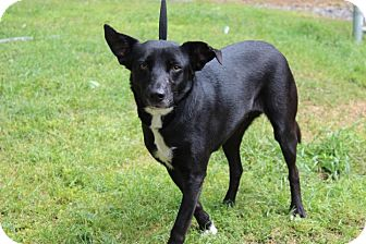 Labrador Retriever/Terrier (Unknown Type, Medium) Mix Dog for adoption in Conway, Arkansas - Snippet
