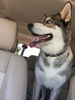 Husky Dog for adoption in Newbury Park, California - Ruca