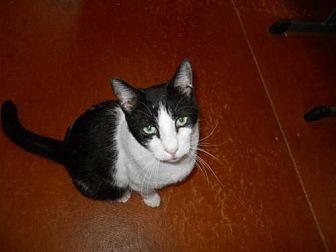 Domestic Shorthair Cat for adoption in San Antonio, Texas - Jefferson