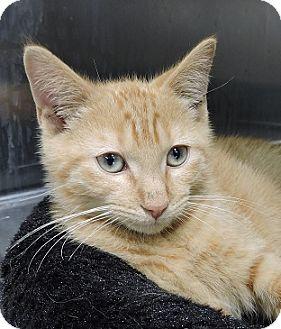 Domestic Shorthair Kitten for adoption in Massapequa, New York - Chandler