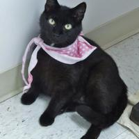 Domestic Shorthair/Domestic Shorthair Mix Cat for adoption in Chambersburg, Pennsylvania - Farah