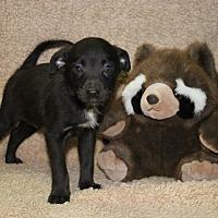 Adopt A Pet :: Chalupa - Washington, DC