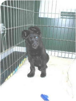 Siberian Husky/Labrador Retriever Mix Puppy for adoption in Boyertown, Pennsylvania - Hershey