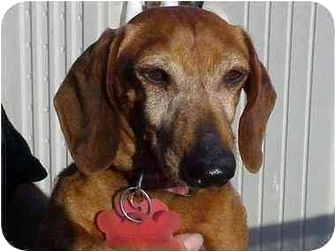 Dachshund Dog for adoption in Spring Valley, California - Pepper