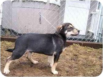 German Shepherd Dog/Corgi Mix Puppy for adoption in Seattle c/o Kingston 98346/ Washington State, Washington - Mystery Litter-Puzzler