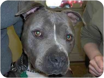 Pit Bull Terrier Mix Dog for adoption in Raritan, New Jersey - Daisy