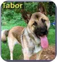 Akita/German Shepherd Dog Mix Dog for adoption in Aldie, Virginia - Tabor