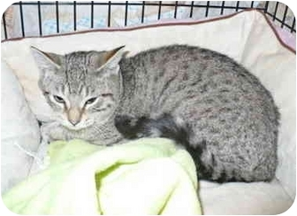 Domestic Shorthair Kitten for adoption in Colmar, Pennsylvania - Lambchop