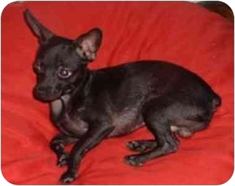 Chihuahua Mix Dog for adoption in Bernardsville, New Jersey - Tyson