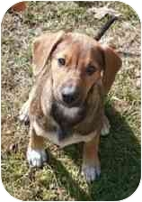 Shepherd (Unknown Type)/Labrador Retriever Mix Puppy for adoption in Hammonton, New Jersey - Duke