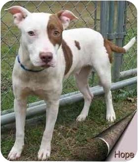 English Bulldog/Terrier (Unknown Type, Medium) Mix Dog for adoption in Ozark, Alabama - Hope