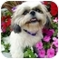 Photo 2 - Shih Tzu Dog for adoption in Los Angeles, California - TILLY