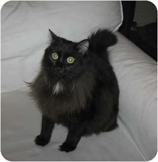 Domestic Longhair Cat for adoption in Long Beach, New York - Missy