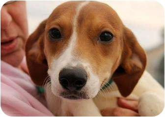 Beagle/Rat Terrier Mix Puppy for adoption in Buffalo, New York - Hazel: 7 months