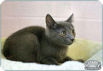 Russian Blue Kitten for adoption in Elmwood Park, New Jersey - Hillary
