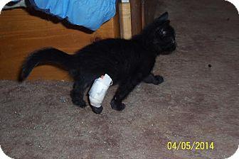 Domestic Shorthair Kitten for adoption in Middletown, New York - Peggy Joe