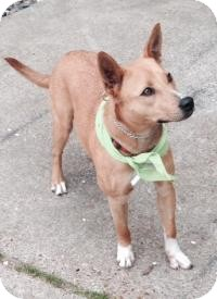 Cattle Dog Mix Dog for adoption in Houston, Texas - Red