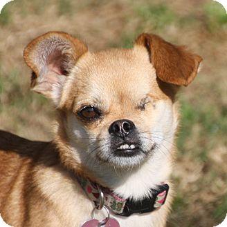 Chihuahua/Pug Mix Dog for adoption in Edmonton, Alberta - Kiddo