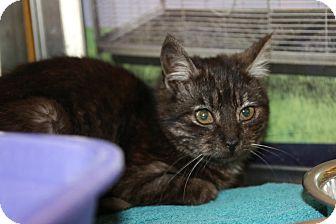 Domestic Mediumhair Kitten for adoption in Rochester, Minnesota - Chocolate