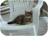 Domestic Mediumhair Cat for adoption in Emerald Isle, North Carolina - Missy