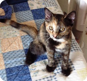 Calico Kitten for adoption in Lake Elsinore, California - Nala