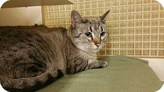 Siamese Cat for adoption in Ogden, Utah - Dove