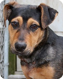 Dachshund Mix Dog for adoption in Savannah, Missouri - Hansel