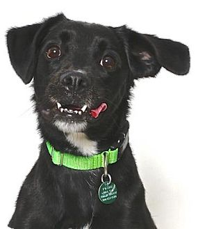 Cocker Spaniel/Boxer Mix Dog for adoption in Gloucester, Virginia - AXEL