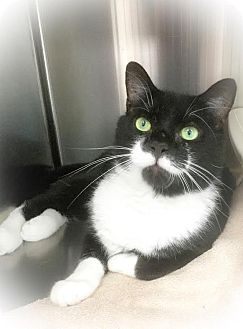 Domestic Shorthair Cat for adoption in Webster, Massachusetts - Norman