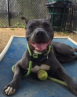 American Pit Bull Terrier Mix Dog for adoption in Manhattan, New York - Frankie G
