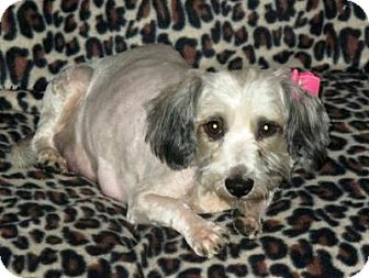 Havanese Mix Dog for adoption in Plainfield, Illinois - Gizelle