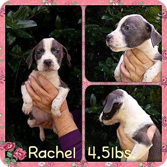 Labrador Retriever Mix Puppy for adoption in Sumter, South Carolina - Rachel