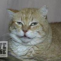Domestic Shorthair Cat for adoption in Dalzell, Illinois - B.J.