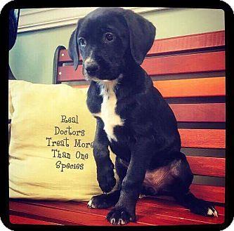 Labrador Retriever/Hound (Unknown Type) Mix Puppy for adoption in Goodlettsville, Tennessee - Jane