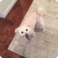 Adopt A Pet :: Max - courtesy post - Beverly Hills, CA