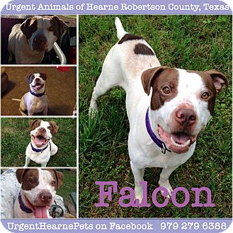 Pit Bull Terrier/American Staffordshire Terrier Mix Dog for adoption in Hearne, Texas - Falcon