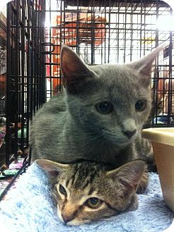 Russian Blue Cat for adoption in Oviedo, Florida - Poppy