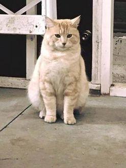 Domestic Shorthair/Domestic Shorthair Mix Cat for adoption in Spruce Grove, Alberta - Felix