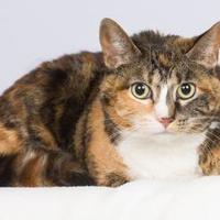 Adopt A Pet :: Kitty - Tinley Park, IL
