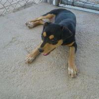Chihuahua Mix Dog for adoption in Tucson, Arizona - Elizabeth