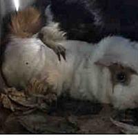Adopt A Pet :: *Urgent* Rocco - Fullerton, CA