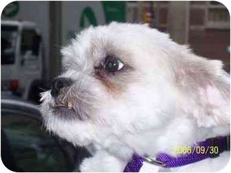 Shih Tzu/Lhasa Apso Mix Dog for adoption in Long Beach, New York - Snoopy